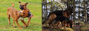 boxer dog origin boxer dog vs german shepherd allboxerinfo
