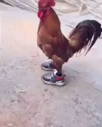 Chicken Running Meme - just a chicken in sneakers gif on imgur