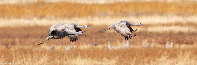 sandhill cranes at whitewater draw sonoran images