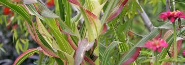 ornamental maize japanese corn zea mays var japonica