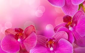 pink orchids kt orchids wholesale 8 ways to use cymbidium orchids kt orchids