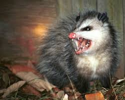 australian shepherd ugly stage possums compared to opossums what u0027s the difference