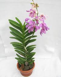 orchid plants buy mokara orchid cool purple color flowering plant online