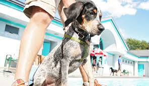 videos of bluetick coonhounds bluetick coonhound u2013 an all around canine dog notebook