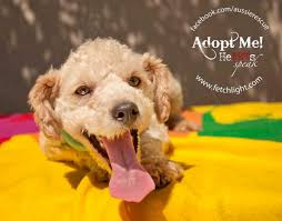 1 year old toy australian shepherd adoptable dogs at aussie and others rescue san diego fetchlight