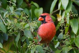 5 cool facts about the beloved northern cardinal mnn mother