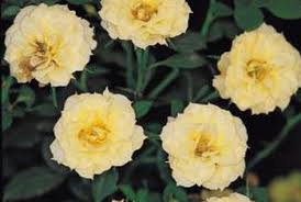 mini bush care best flowers and 2017