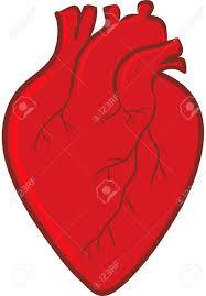 human heart anatomy royalty free cliparts vectors and stock