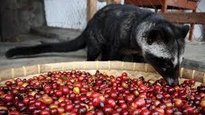Luwak Coffee history of luwak coffee indonesia and its popularity