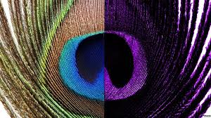 uv light for birds animal colour through animal eyes peacocks bird and animal