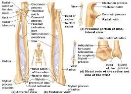 Normal Bone Anatomy And Physiology Bone Anatomy Of The Under Arm Via Http Www Medi Paper Com
