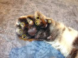polydactyl cat wikipedia