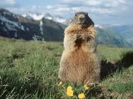 83 best marmots the european prairie dog images on pinterest