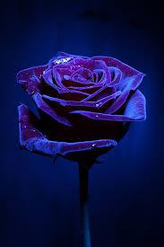 macro flower roses purple and rose