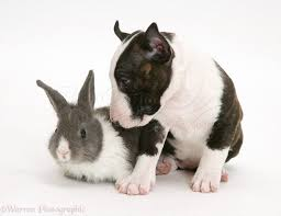 miniature english bull terrier pup with baby rabbit bull terrier