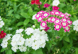 Phlox Flower Pink And White Phlox Flower Stock Photo Picture And Royalty Free