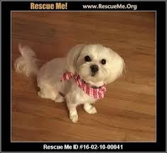 2 month old bichon frise 3622 best little dogs need to be adopted havanese cotons