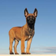 belgian malinois little rock belgian malinois puppy breed origin belgium more here