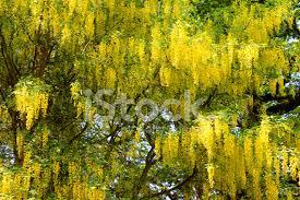 Tree With Bright Yellow Flowers - bright yellow laburnum flowers in garden golden chain tree ima