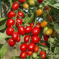 tomato u0027santonio u0027 f1 hybrid thompson u0026 morgan