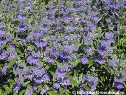 Bluebeard Flower - caryopteris u0027dark knight u0027 bluebeard from babikow