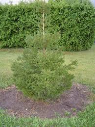 european u0026 norway spruce trees for sale cold stream farm