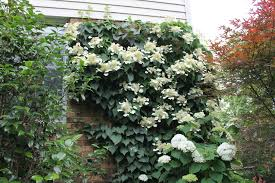 any evergreen vines to hide a chain link fence gardening q u0026a with