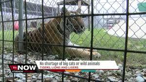 manatee county sheriff u0027s office tiger