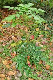 mahonia aquifolium forest garden
