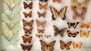 moths vs butterflies