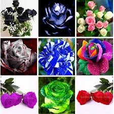 Different Color Roses Different Color Roses 300 Mystic Rainbow Rose Bush Flower Seeds 3
