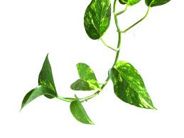 green vine indoor houseplants make sure to visit gardenanswers