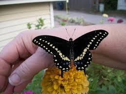 black swalowtail butterfly on jans arm hutchinson photo album