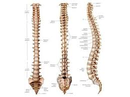 The Human Body Picture How Many Spines In The Human Body Quora