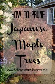 best 25 japanese maple garden ideas on pinterest bloodgood