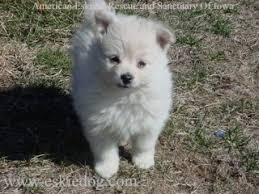 types of american eskimo dogs shadows in the water americian eskimo dog animals
