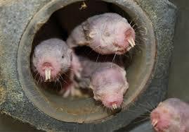 Moles Blind Mole Rats Turn Into Plants When Oxygen Is Low