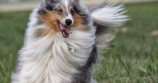 wszystko o bichon frise psy rasy owczarek szkocki długowłosy rasy psów pinterest