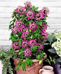 buy a container plant now passion flower u0027purple rain u0027 bakker com