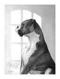 boxer dog umbrella majestic boxer dog waiting expectantly by window print of a