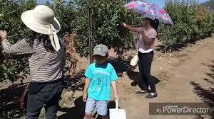 apple picking in julian california youtube