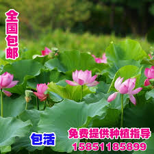 buy wholesale pond plants ornamental from china pond plants