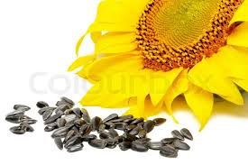 yellow colored flowers of sunflower seeds and black stock photo