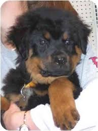 australian shepherd for sale los angeles venus adopted puppy west los angeles ca rottweiler