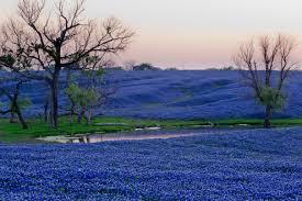 Bluebonnet Flowers - day trip bluebonnet trail u2013 austin eautos back seat blog