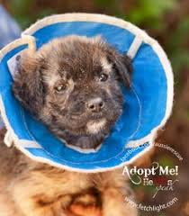 australian shepherd rescue san diego and friends kessie the 12 week old terrier mix is available to adopt at aussie