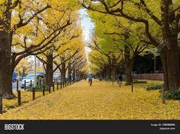November Tokyo by Tokyo Japan November 29 2016 The Gingko Avenue In Meiji Jingu