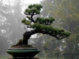 pine trees make bonsai not karate students