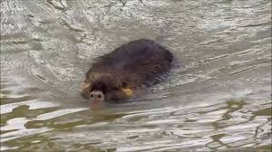 nothing nutria they look like beavers with rat tails u0026 pig