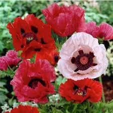 poppies seed poppy wildflower seeds